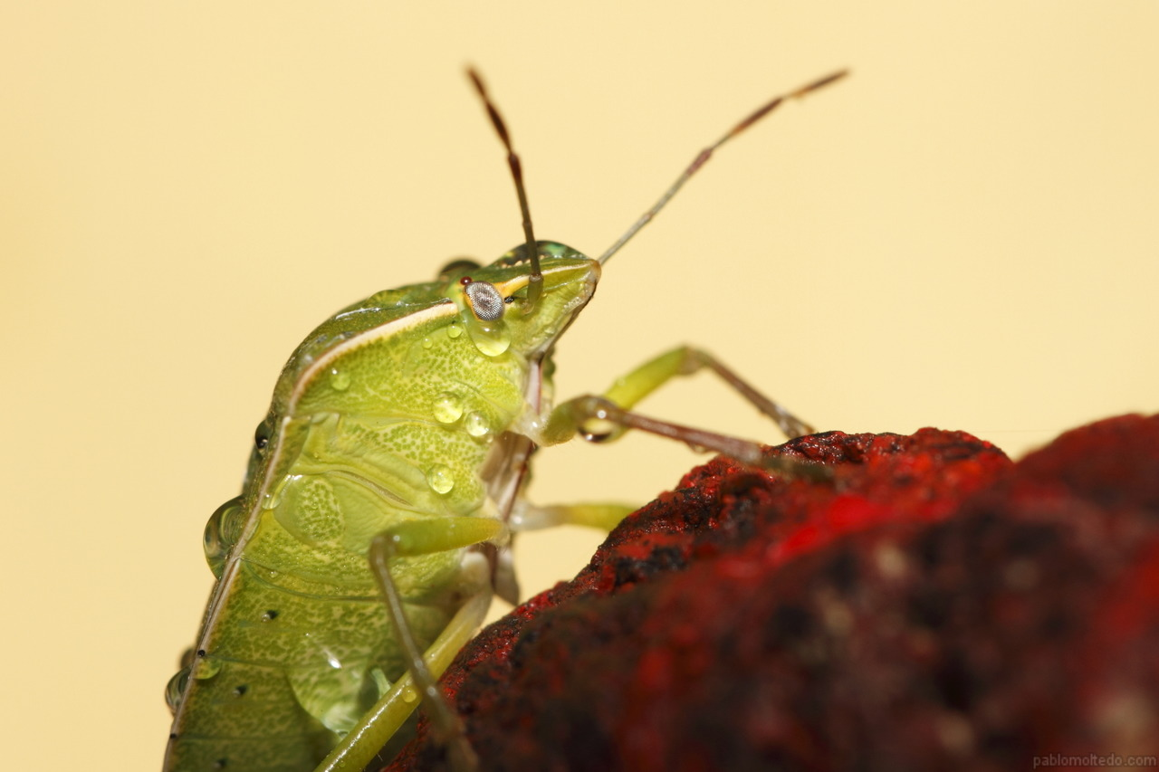 Green stink bug (nezara viridula) with yellow paper background [1280x853][OS][OC]
