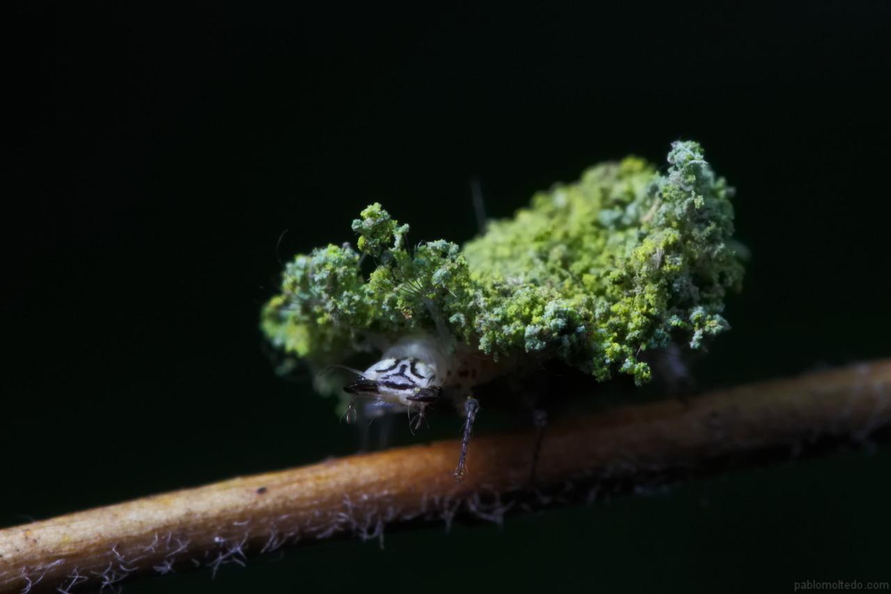 Chrysopidae using lichen as camouflage [1280x853][OS][OC]