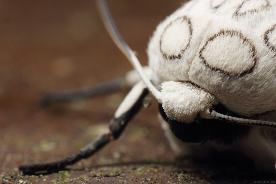 Giant leopard moth (hypercompe scribonia) [OS][OC][960x640]