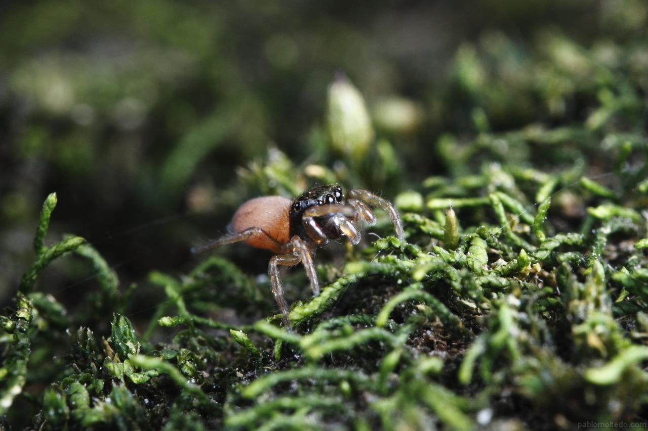 All terrain salticidae spider [1280x853][OS][OC]