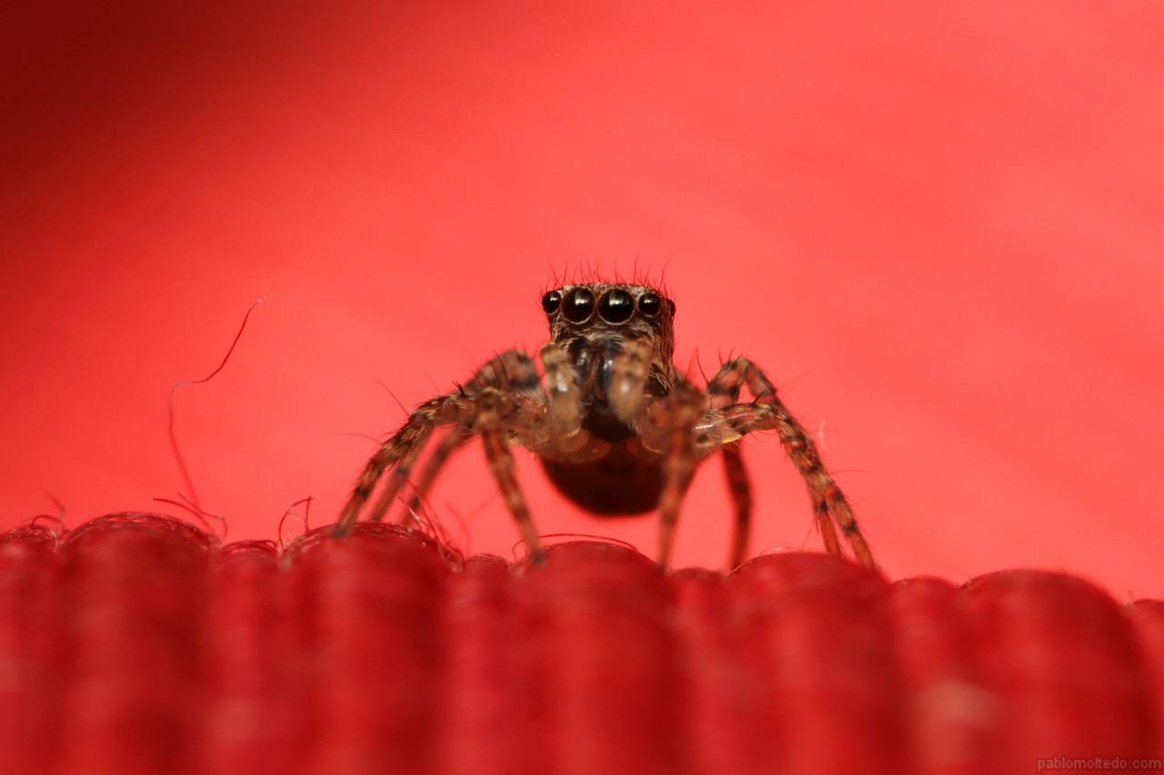 6mm salticidae spider on red cushion [1280x853][OS][OC]