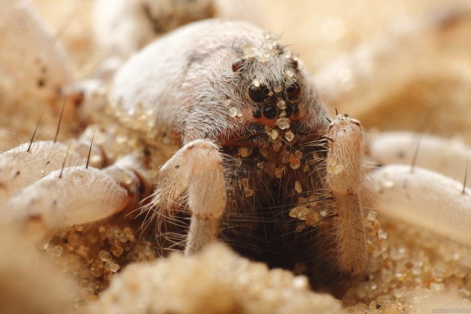 Sand spider [OS][OC][960x640]