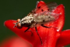 pablo-moltedo-mosca-flor-roja-fly-red-flower